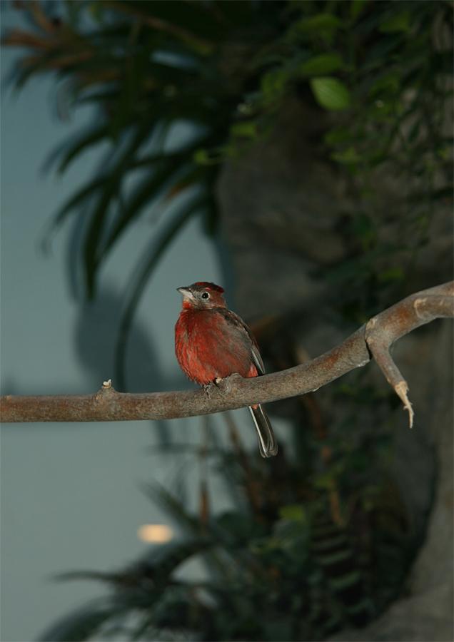 ave jacana suramericana
